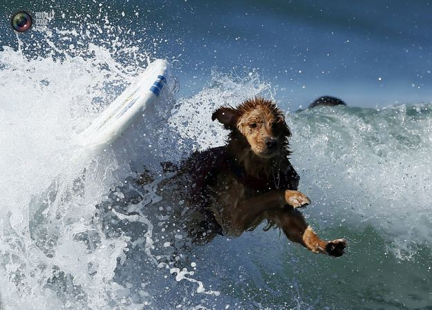 surfing_dogs_021