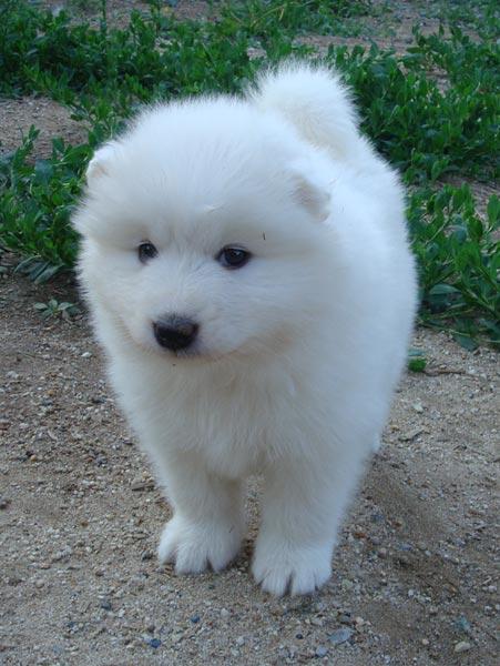 Самоедская собака-Лучший друг человека (фото)