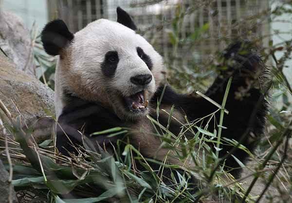 Жизнь панды в зоопарке Эдинбурга