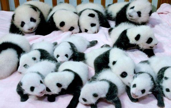 В китайском заповеднике родились 14 детишек панд
