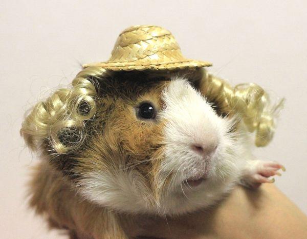 Последние тренды в мире моды морских свинок от Guinea Pig Fashion