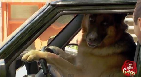 Умная собачка водит авто. Розыгрыш