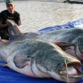 Топ-10 Самые большие пресноводные рыбы в мире