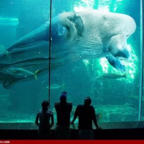 Легенда среди морских чудовищ- гигантский кальмар «Кракен». Истории вылавливания, факты и немного видео с Кракенами 2013.