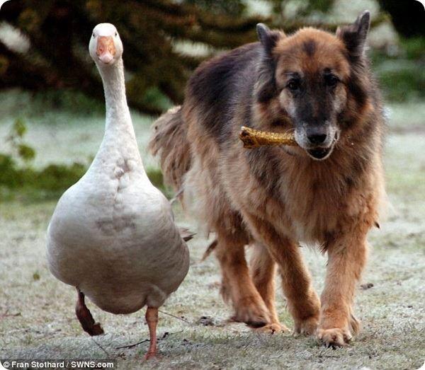 Невероятная дружба в мире животных. Собака дружит с гусыней и та, спасает ему жизнь.