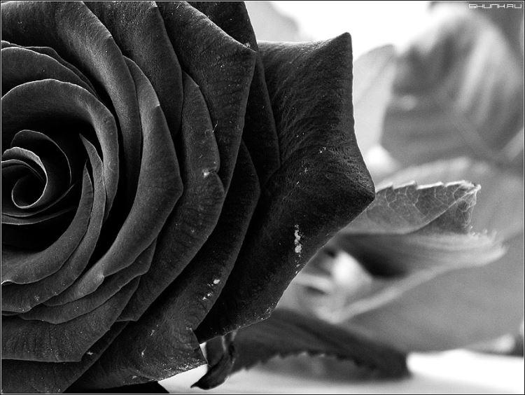 Магическая красота турецких чёрных роз из Халфети
