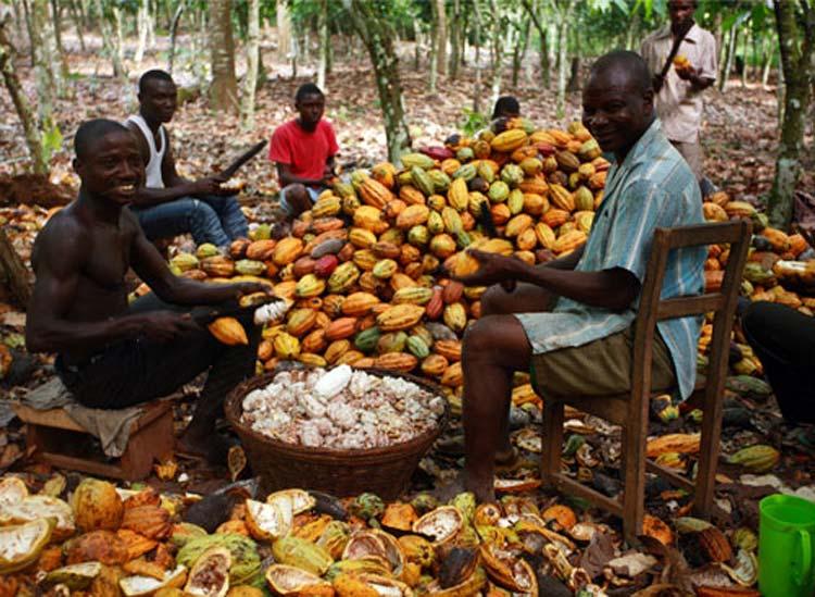 Фермеры Респу́блики Кот-д'Ивуа́р, собирающие всю жизнь какао-бобы, впервые попробовали шоколад.